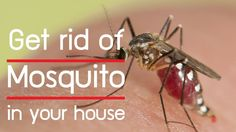 how to get rid of mosquitoes in your house naturally : 10 natural ways t...