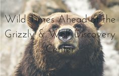 Wild Times Ahead at the Grizzly & Wolf Discovery Center. #travel #family #vacation