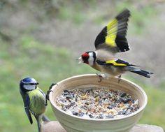 """Lille video af sjove og smukke fugle på fodrebrættet: https://youtu.be/0Ywvc1o6Ciw Her ser vi den temperamentsfulde Stillits, der jager en Blåmejse væk fra fodrebrættet. Ønsker du mere """"action"""" på fodrebrættet, så tiltræk Stillitsen ved træer som Gran, Ædelgran, og planter som Knopurt og Kartebolle."""