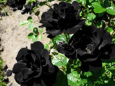 (100+) black flowers | Tumblr