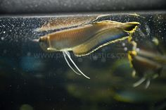 Osteoglossum ferreirai Black Arowana-35-206