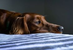 26 Ways To Relieve Your Dog Of Boredom - Dog Training Advice Tips - Boredom can lead to excessive unwanted behaviors like chewing, digging, and barking. Here are 26 wa - Dressage, Lyme Disease In Dogs, Los Primates, Best Dog Food, Irish Setter, Dog Boarding, Dog Show, Homemade Dog, Dog Behavior