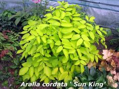 Aralia cordata 'Sun King' aka Golden Japanese Spikenard - self-sows and naturalizes, shady woodland, 3-6' H/W, deer resistant, blooms late Summer, part shade, well-drained moist