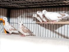 Doves. Thunder, Racer, Snuggie, BamBam, Racer, Velvet is an adoptable Dove Dove in San Francisco, CA. These 5 beautiful doves are available for adoption – a couple at a time or all at once! They are c...