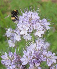 Phacelia tanacetifolia - Phacelia / Bijenvoer / Bijenplant -bij voldoende vocht veel nectar - kan goed tegen droogte maar maakt dan enkel stuifmeel -groenbemester