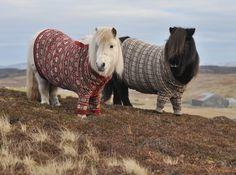 Shetland Ponies  in Cardigans 1