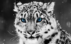 Beautiful Snow Leopard Photo