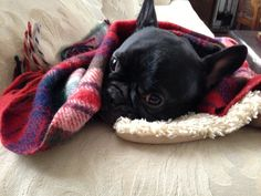 Our french bulldog Lucy lounging on the sofa.