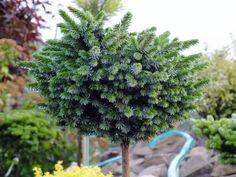 Picea omorica 'Gunter'
