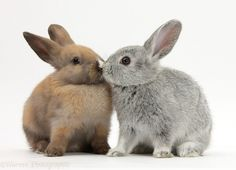 Baby rabbits kissing white