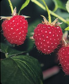 Pruning Red Raspberries: A hard late-winter thinning is the secret to healthier plants and bigger, sweeter berries