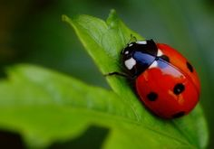 Many people in the world believe that ladybugs are a good omen. They can symbolize a turn of good luck in cash flow, love, or that a wish may be granted.  I believe ladybugs can bring good luck and symbolizes an amazing girl! Always in our hearts.RIP Amber Lea Bailey