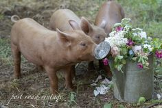 Country Pigs
