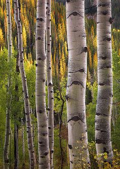 ~~Simplicity | Autumn aspen forest, Crested Butte, Colorado by AndersonImages~~