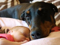 Dog Protecting Baby | By Felissa Elfenbein On December 22, 2011 In Service Dogs 2 Comments
