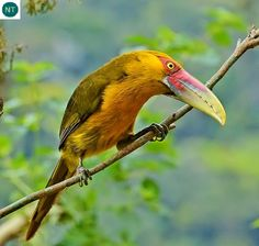 https://www.facebook.com/WonderBirdSpecies/ Saffron toucanet (Pteroglossus bailloni); South America: Argentina, Brazil, and Paraguay.; IUCN Red List of Threatened Species 3.1 : Near Threatened (NT)(Loài sắp bị đe dọa) || Chim Toucan nghệ; Nam Mỹ: Argentina, Brazil, và Paraguay.; Họ Toucan-Ramphastidae.