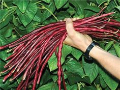 "bean chinese red noodle. deep red, 18"" podsLong vines produce all summer and do well under many conditions. ."
