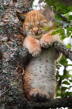 Des faux-airs de peluche pour enfants. Ce magnifique bébé lynx a choisi la cime des arbres pour une sieste improvisée, en pleine journée.                                                                                                                                                     Plus