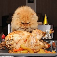 It might be best to step away from the cooked chicken and give it all to the cat because judging by its facial expression, they mean business