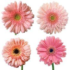 FiftyFlowers.com - Light Pink Gerbera Daisy – 50 for $99