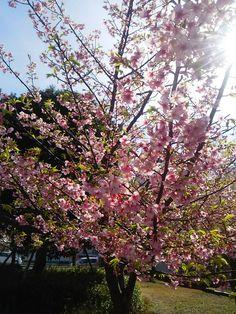 伊東小室桜 2016.2