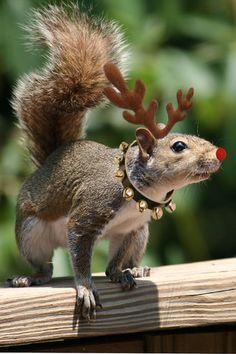 Rudolph the red nose squirrel