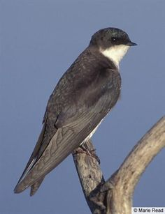 Tree Swallow ...female...A common swallow of marshes and open fields, the Tree Swallow is a ready inhabitant of nest boxes.
