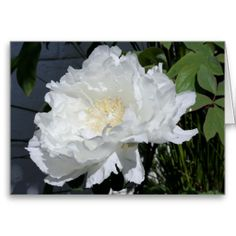 White Peony - Floral Photography -