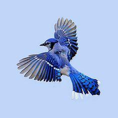 blue jay flying