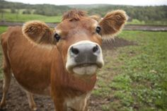 Here at Must Be The Milk, we love to support our local dairy farmers anyway we can and what better way to support them AND cows than by celebrating National Cow Appreciation Day? Friday, July 11 marked this year's Cow Appreciation Day and in celebration, we have highlighted cow and dairy farmer facts for you. …