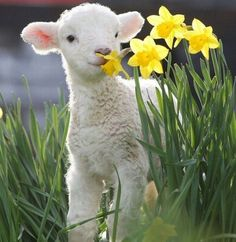 A little lamb munches on spring daffodils. So cute! Happy Spring!
