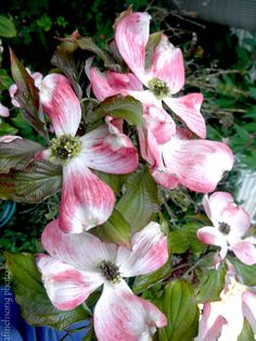 41 best flowering trees images on pinterest blossom trees 1 cherokee brave native dogwood deciduous flowering tree sun to part shade 20 year size 20hx20w upright broad bloom reddish pink with white center new mightylinksfo
