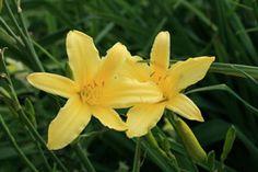 Hemerocallis altissima - Hohe Taglilie