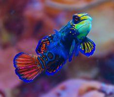 Mandarin fish (also Mandarin dragonet, Synchiropus splendidus) in the Wild Reef exhibit at Chicago's Shedd Aquarium.