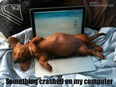 Doxie on laptop Gratuitous Cute Post of the Day Sleeping Dachshund Dachshund Funny, Dachshund Puppies, Weenie Dogs, Dachshund Love, Funny Dogs, Dogs And Puppies, Funny Animals, Cute Animals, Daschund
