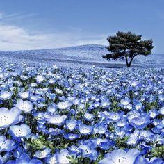 50+ Baby Blue Eyes Flower Seeds