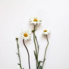 I'm back! It's been too long since I've posted on here. Yay to finishing university!  Here are some beautiful wild daisies I saw at the side of the road and couldn't resist picking a few  have a great Monday ☺️