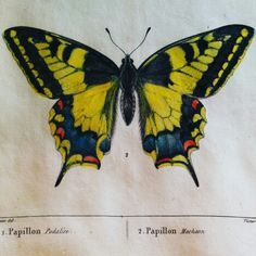 Swallowtail butterfly or papillon