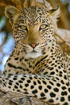 The Near Threatened African Leopard (Panthera pardus pardus) is found throughout sub-Saharan Africa.  -kc