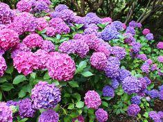 Hydrangea Bush, Hydrangea Care, Hydrangea Macrophylla, Light Pink Flowers, Big Flowers, Sloped Garden, Border Plants, Flower Landscape, Back Gardens