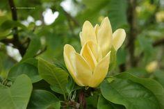 Magnolia brooklynensis 'Yellow Bird' bloeit zacht geel in mei, als blad net aanwezig is.