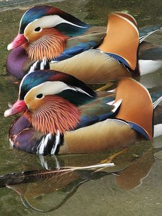 Mandarin Ducks. I dont like them. They think they are soo much cooler than the other ducks....... :)