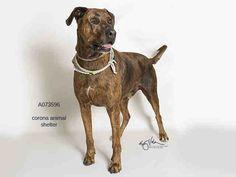 Plott Hound dog for Adoption in Corona, CA. ADN-539646 on PuppyFinder.com Gender: Male. Age: Senior