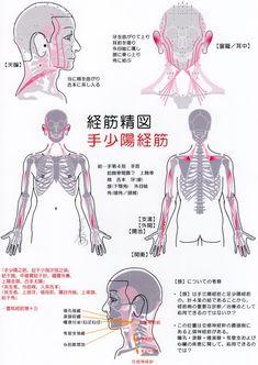 手少陽経筋(Ver2017) -Muscle meridian, Shou shaoyang(Ver2017)-