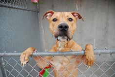 Executed on 4/12/13. Brooklyn Center -P. JORDAN's animal ID # was A0960887. He was nine-month-old tan and white pit bull mix.