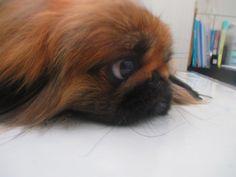 MAMIJIRO 愛犬のペキニーズ・マミジロウ