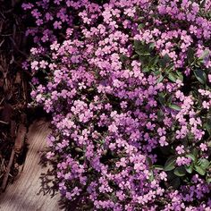 Soapwort - Sun/part shade, zone 3-9, ground cover, blooms late spring early summer.
