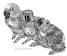 Sally Blanchard - Pen Drawing Yellow-fronted Amazon Babies