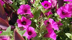 Smithsonian Heirloom Garden. Violet flower  Petunia integrifolia (1831 in England)    Petunia hybrids today are descended from this beautiful violet petunia and from co-parent Petunia axillaris which is also an old-fashion garden favorite. Petunia integrifolia is native of Argentina.