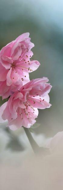 beautiful soft petals - pink flowers